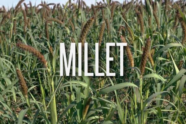 millet-text